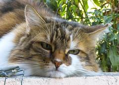 Very bad cat (gilloogo) Tags: mycat gilloogo gillesgouin gato gatto gati colours couleurs colors cat chat cats chats katze katzen felin félin familier mascotte pet fur fourrure eyes yeus oeil panasonic lumix animal matou minet miaou