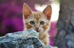 Son of La Manchada - Neighborhood cats (En memoria de Zarpazos, mi valiente y mimoso tigre) Tags: kitten babycat cat gattino gatito orange tabby ginger rosso red greeneyes cute