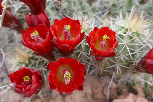 Capitol Reef-Fleur de cactus