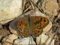 Wall Brown, male. (Vitaly Giragosov) Tags: wallbrown lasiommatamegera butterfly insect crimea sevastopol буроглазкамегера бабочка севастополь крым