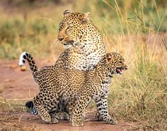 Leopard cub is hungry :) (frankmetcalf) Tags: leopard cub africa kenya maasaimara savannah entimcamp davidlloyd mother