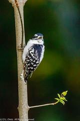 Downy Woodpecker 15 (DL_Dietz) Tags: birds canoneos5dmarkiv downywoodpecker kensingtonmetropark livingstoncounty michigan nature naturephotography northamerica summer unitedstates wildlife wildlifephotography woodpeckers