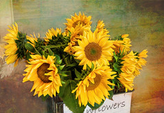 Sunflowers for sale (Millie Cruz (On and Off)) Tags: sunflowers yellow fall texture topazstudio1 autumn flowers forsale market girasoles patchesfamilycreamery lebanonpennsylvania atsh thisissooctober cmwd cmwdyellow canoneosrebelt6i ef24105mmf4lisusm milliecruz