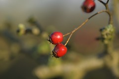 Momentary (Tony Tooth) Tags: nikon d600 nikkor 105mm bokeh red redberry berries october sunlit gunhill staffs staffordshire staffordshiremoorlands nature shibui wabisabi