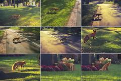 renard court au rendez vous / Fox runs to the rendezvous (cébé céline) Tags: renard automne séquence cimetière montroyal montréal rendezvous centreville animal