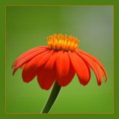 ...Gooooldfiiiingeeeer...ta...da...da... (schau_ma_da) Tags: 2604 album5 astersonnenblume asteraceae blüten blütenprächtiges blumen botanischergarten deutschland diezin durchnjaadejonn flickr goldfinger karlsruhe korbblütler macro makro mexikanischesonnenblume nikond5300 pflanze pflanzenleben quadrat schaumada schlossgarten schlosspark tamron70300 tithoniarotundifolia wiesdorf wapb dzsmd515