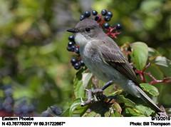 Eastern Phoebe (Bill.Thompson) Tags: easternphoebe sayornisphoebe me birds