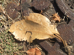 Fallen Leaf. (dccradio) Tags: lumberton nc northcarolina robesoncounty outside outdoor outdoors nature natural october friday fridayafternoon afternoon goodafternoon autumn fall fuji finepix a500 manholecover leaf leaves fallen grounded fallenleaf groundedleaf