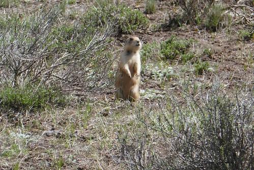 Bryce canyon-Chien de prairie