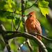 Adolescent Male Cardinal