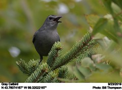 Gray Catbird (Bill.Thompson) Tags: graycatbird dumetellacarolinensis me birds