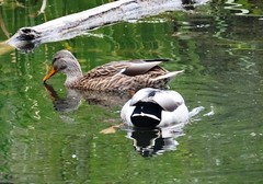 Two ducks (EcoSnake) Tags: ducks mallards foraging waterfowl wildlife october fall idahofishandgame naturecenter