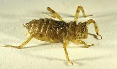 Skimmer Dragonfly Larva