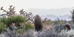 10042019000026134 (Verde River) Tags: gambelsquail cactus nature sunset landscape landscapes rabbit reptile