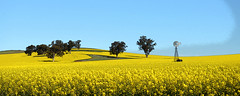 Fields of Gold (PhotosbyDi) Tags: fotf freestyleonthefifth famousflickrfive fieldsofgold canola dookie