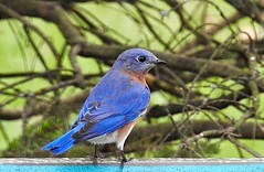 Mr Bluebird (picturesinmylife_yls) Tags: bluebird nature blue