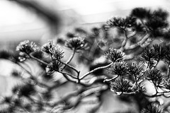 bonsai pine (Francis Mansell) Tags: tree plant bonsai japanesewhitepine pinusparviflora blur bokeh abstract kew kewgardens royalbotanicgardenskew monochrome blackwhite niksilverefexpro2 pine