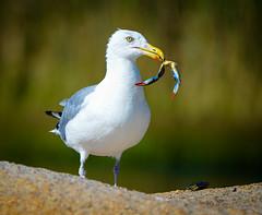 Herring Gull with dinner (RWGrennan) Tags: herring gull bird seagull sea crab claw blue dinner nature ninigret pond charlestown rhode island ri outdoors wildlife wild green hunt rwgrennan rgrennan ryan grennan nikon d610 tamron 150600 kayaking ocean state