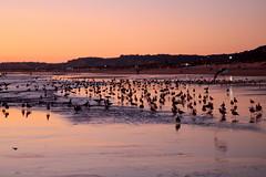 THEIR TIME HAS COME (André Pipa) Tags: caparica costadecaparica lisboa praia beach gaivotas seagulls gaivotasemterra pordosol sunsetcaparica photobyandrépipa 100faves