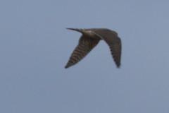 Merlin, Multnomah Co., OR_4127(1) (Patterns and Light) Tags: 2019 oregon falco columbarius falcocolumbarius broughton beach portland