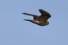 Merlin, Multnomah Co., OR_4125(1) (Patterns and Light) Tags: 2019 oregon falco columbarius falcocolumbarius broughton beach portland