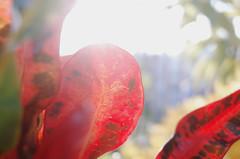 R0013303 (廖法蘭克) Tags: taiwan taichung 臺灣 臺中 ricoh gr 變葉木 sunshine sunny photographer photography photograph frank frankintaiwan plant