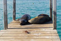Sea lions sleeping Lobos marinos durmiendo (José X) Tags: sealion lobomarino sleeping durmiendo sea ocean galapagosislands water agua ecuador sonyalpha sonya6000