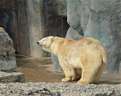 Polar Bear After a Swim (scilit) Tags: bear polarbear zoo fur cave rocks habitat wet pebbles attraction animal wildlife nature ngc alittlebeauty coth5 npc thebestofmimamorsgroups onlythebestofflickr photosandcalendar