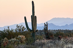 10042019000026118 (Verde River) Tags: gambelsquail cactus nature sunset landscape landscapes rabbit reptile