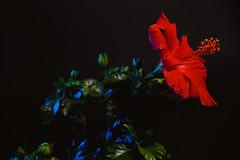 Hibiscus (rkohar) Tags: canon 6d hibiscus studio godox yongnuo lowkey lighting red blue green hibiskus ハイビスカス haibisukasu гибискус υβίσκοσ yvískos ibisco hibisco eibisch canon6dhibiscusstudiogodoxyongnuo