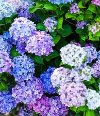 Japanese Hydrangea (Ajisai) (shiruichua) Tags: japan tokyo yoyogi park hydrangea ajisai flowers purple blue white whimsical summertime bloom nature outdoors phone photography