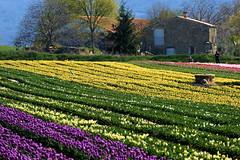 P1000725 (alainazer) Tags: lurs provence france fiori fleurs flowers fields champs ciel cielo sky colori colors couleurs tulipani tulipes tulips pierres stones maison casa house