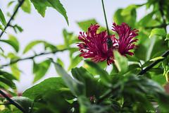 MACRO : ORGUEILLE DE CHINE (cune1) Tags: fiori flowers macro colori colors natura nature africa areasanpedro