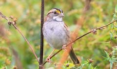 white-throated sparrow near Ludwig Prairie Preserve IA 653A4612 (naturalist@winneshiekwild.com) Tags: whitethroated sparrow ludwig prairie preserve winneshiek county iowa larry reis