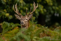 Richmond Stags (budgiepaulbird) Tags: stag royalparks london 100400mark2 canon7dmark2 bellowing headgear