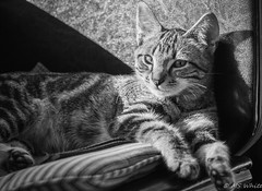 Kitten lounging in the light and shadow. (Picture-Perfect Cats) Tags: marley tabby blackandwhite cat kitten portrait shadow cute gazing
