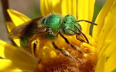 Green Sweat Bee (Agapostemon texanus) (J.Thomas.Barnes) Tags: