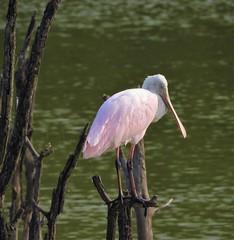 Roseate Spoonbill napping. (Ruby 2417) Tags: pink spoonbill bird wildlife nature nap edinburg pond wetlands wetland texas rare rarity