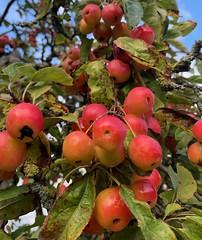 Crab apples (markshephard800) Tags: fruit tree apples crabapples