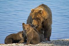 Picnic on the beach (Tom Fenske Photography) Tags: katmai bear family cub mama blue wild brown lake beach nature water alaska nationalpark wildlife grizzly wilderness