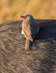 Red-billed Oxpecker - Buphagus erythrorhynchus (Gary Faulkner's wildlife photography) Tags: redbilledoxpecker buphaguserythrorhynchus