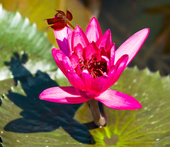 Lilly and Friend (si_glogiewicz) Tags: lily lilypad flower pink purple dragonfly insect land landed landing leaves water pond