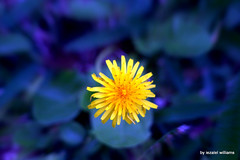 Wild flower in blue tone2 by iezalel williams IMG_0757 (iezalel7williams) Tags: wildflower photography flora plant photo nice canoneos700d blue beautiful flower wild bluetone bokeh high love light vibration energy exquisite nature beauty yellow happylife peaceofmind thinkpositive thankyou