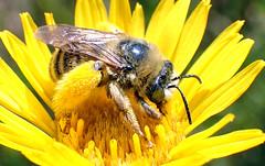 Long-horned Bee (Melissodes sp) (J.Thomas.Barnes) Tags: