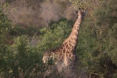 South Africa - Kruger National Park (Michael.Kemper) Tags: canon eos 6d 6 d ef 100400 100 400 f4556 f 45 56 l is ii usm voyage travel travelling reise vacation south africa südafrika rsa afrika limpopo mpumalanga kruger krüger national park nationalpark np safari wild game drive wildlife animal tier giraffe winter