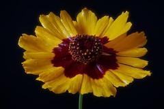 Tiny flower (Michael Schönborn) Tags: nx500 samsung nx50200f456 macro closeup focusstacking stacked flower plant studio yellow