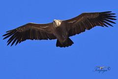 avvoltoio grifone sardo (Tonpiga) Tags: tonpiga uccelliinlibertà faunaselvatica grifonesardo gypsfulvus avvoltoio fotoinnatura