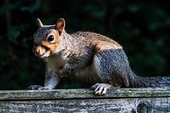 grey squirrel (steamnut777) Tags: grey squirrel worcestershirewildlifetrust malvern infinitexposure animal maljonesphotography canon 1dmk3 fence sunlight
