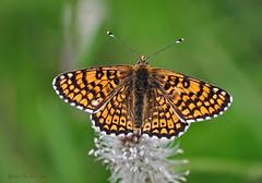 Melitaea cinxia (Linnaeus 1758) (ajmtster) Tags: macrofotografía macro insectos invertebrados mariposa mariposas nymphalidae ninfalidos melitaeacinxia doncellapunteada amt anverso butterfly butterfies papillon farfalle cinxia melitaea arke makro aufnahme