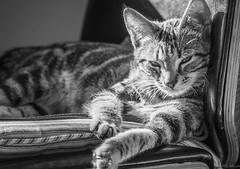 Don't hate me because I'm beautiful! (Picture-Perfect Cats) Tags: marley tabby cat kitten portrait cute dreamy lazy lounging beautiful male gato chat